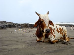 Even the cows chill on the beach. This one chose Vagator beach for the day.